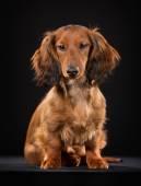 Longhaired dachshund — Stock Photo