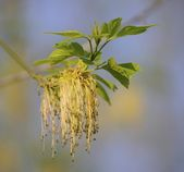 Flowering ash-leaved maple — Stock Photo
