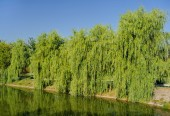 Willow Babylonian (weeping) on the lake — Stock Photo