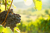 Grapes on the vine in Tuscany, Italy — Stock Photo