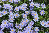 Camomile flower — Stock Photo