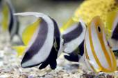 Butterfly Fish in Sea coral reef area. — Stock Photo