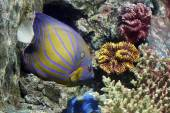 Colorful Bluering angelfish on corals reef. — Stock Photo