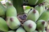 幼鸟在巢中. — 图库照片