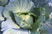 Freshness cabbage vegetables. — Zdjęcie stockowe