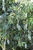 Zelené Mango na stromech. — Stock fotografie