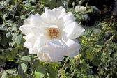 White roses. — Stock Photo