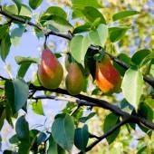 Pear tree. — Stock Photo