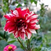 Dahlia Autumn flower design. — Stock Photo