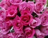Fiori di malva rosa — Foto Stock