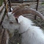 White horned goat — Stock Photo #67123759