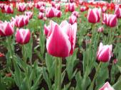 Lilac-pink tulips in city park — Stock Photo