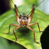 Grasshopper on a piece of leave — Stock Photo