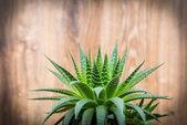 Planta aloe — Foto Stock
