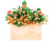 Roses in box isolated on white — Stockfoto