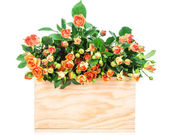 Roses in box isolated on white — Stock Photo