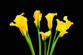 Bunch of yellow callas — Stock Photo