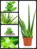 Succulent aloe plant — Fotografia Stock