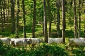 森の中の牛 — ストック写真
