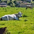 White Cow — Stock Photo #59690563
