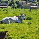 White Cow — Stock Photo #59690563