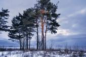 Pines on seacoast — Stock Photo