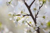 White Plum tree spring blossom in park — Stock Photo