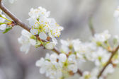 White Apple tree spring blossom in park — Stock Photo