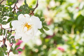 White Wild Rose Flower Hip spring Blossom — Stock Photo