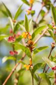 Small bumblebee with yellow honeysuckle — Stock Photo