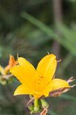 Yellow Daylily Hemerocallis in garden summer blossom — Stock Photo