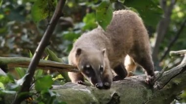 South American coati — Stock Video