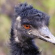 Head of the emu — Stock Photo #70757993