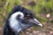 Head of the emu — Stock Photo