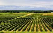 Beautiful Rows of Grape Vines — Stock Photo