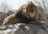 A Lion at rest — Stock Photo