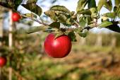 Branch with one red apple — Stok fotoğraf