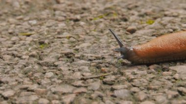 Slug slowly crawl — Stock Video