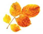 Colorful autumn leaf isolated — Stock Photo