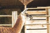 Lamy w zoo — Zdjęcie stockowe