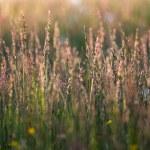 Long grass at sun set time — Stock Photo #73004685