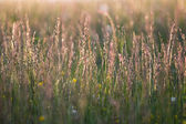 Long grass at sun set time — Stock Photo