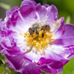 Bee on wild pink rose — Stock Photo #78952164