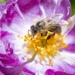 Bee on wild pink rose — Stock Photo #78957250