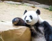 Panda relaxing — Stock Photo