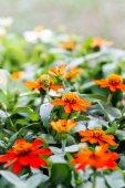 Orange Daisies — Stock Photo