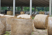 Cattle farm with cows munching hay — Foto Stock
