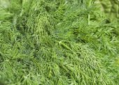 Fresh green dill background — Stock Photo