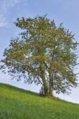 Slovenien landskap med ensamt träd — Stockfoto
