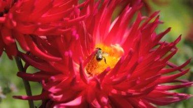 Včelí a vosí v dahlia — Stock video